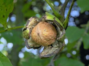 При некоторых болезнях грецкие орехи лучше не употреблять