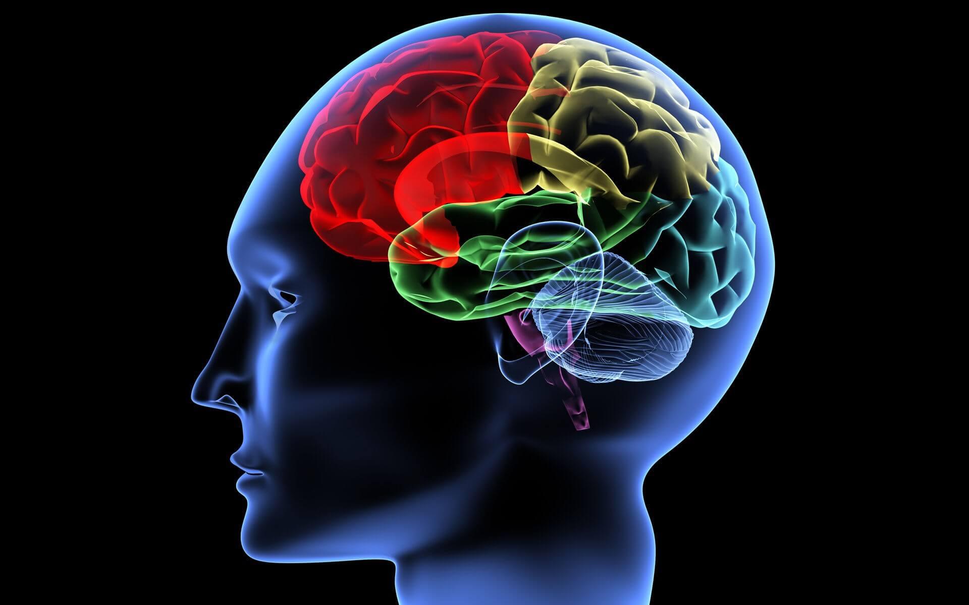 Мозг состоит из пяти отделов