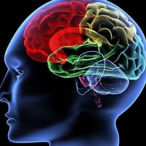 Отделы головного мозга и их функции, особенности строения и предназначение долей органа нервной системы
