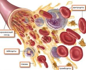 Структура кровеносных сосудов