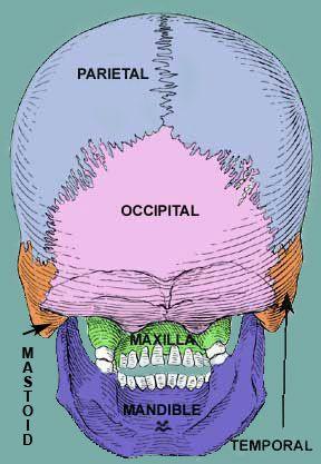 Как устроена затылочная кость черепа. Травмы затылочной кости и их последствия