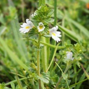 Лекарственная трава очанка, применение в домашних условиях для профилактики и в лечебных целях