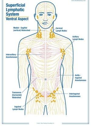 Как выглядит лимфатическая система человека