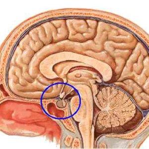 Что такое гипофиз головного мозга: причины избытка и недостаточности гипофизарных гормонов