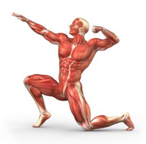 Интрафузальные мышечные волокна: характеристика и функции