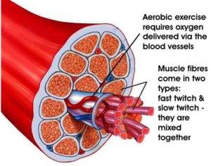 Структура мышц