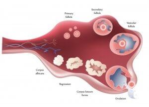 Процессы репродуктивной системы