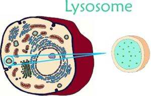 Лизосомы