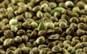 Пророщенные семена конопли