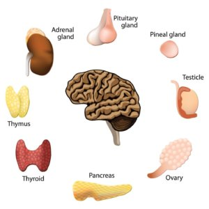 Что относят к эндокринной системе органов, описание желез