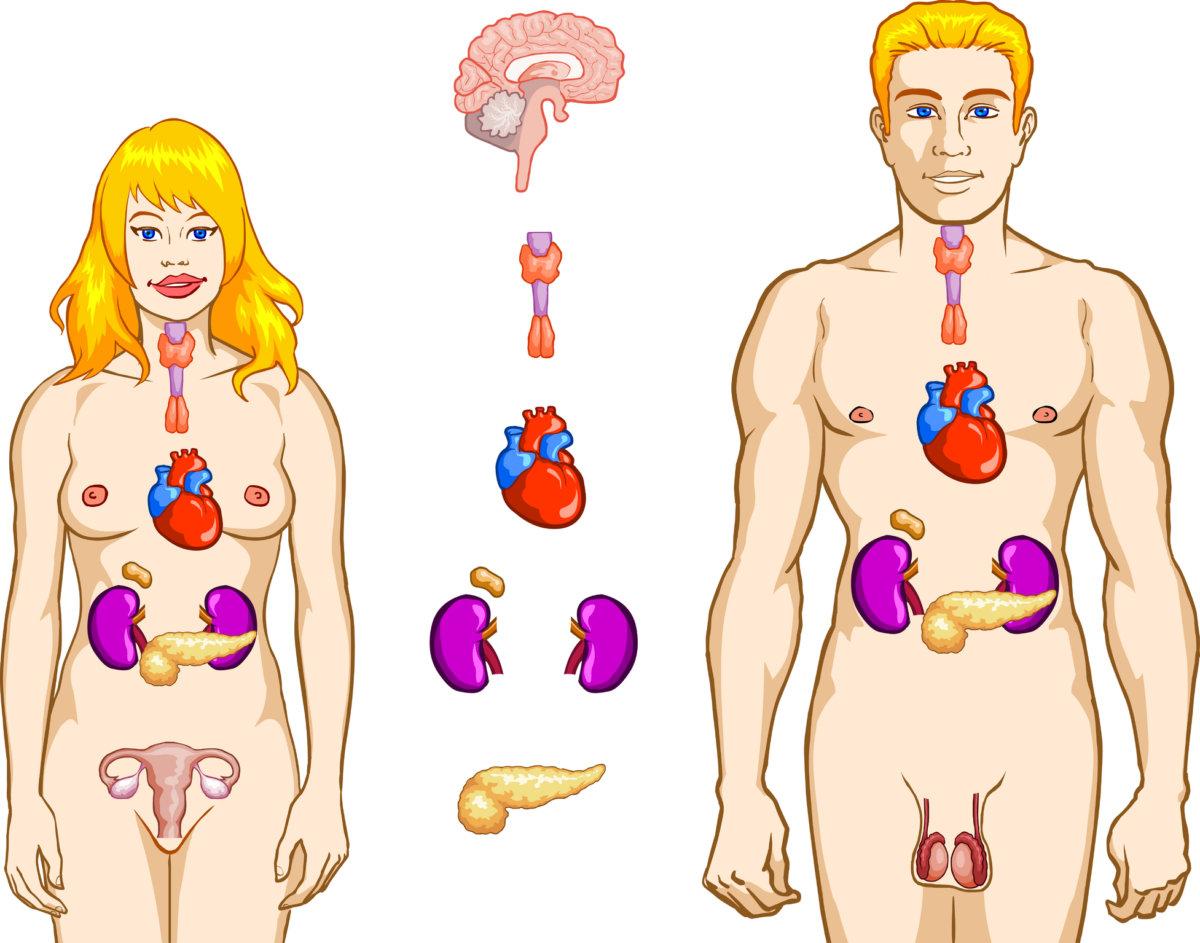 Функции эндокринных органов