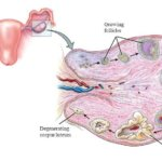 Строение яичника