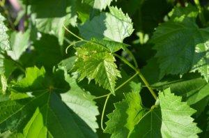 Виноградные листья