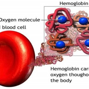 Гемоглобин и кровяные тельца