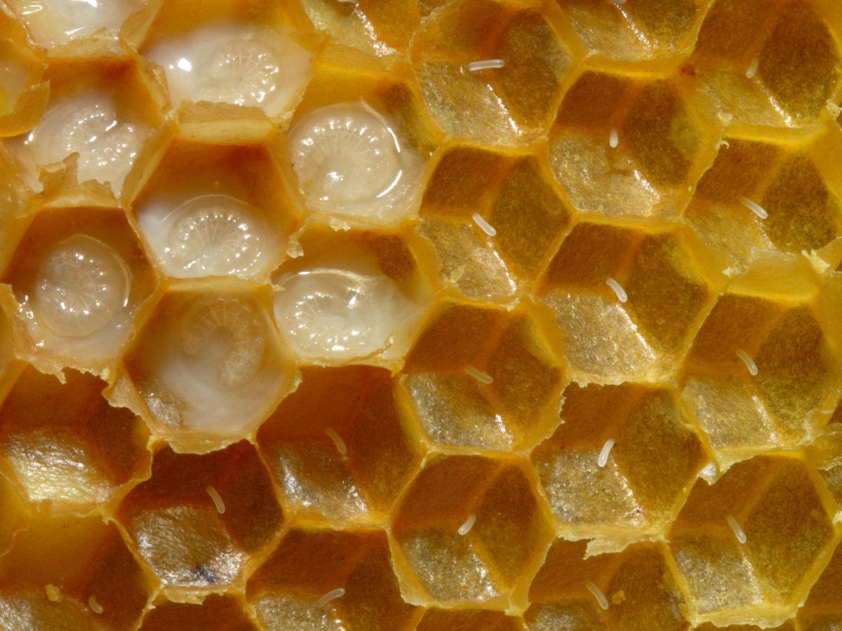 Пчелиное молочко в природе