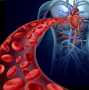 Кровеносная система является важной составляющей организма