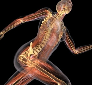 Костно-мышечная система отвечает за двигательную функцию