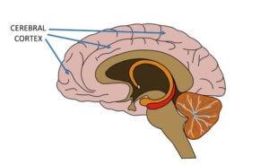 Зоны коры мозга