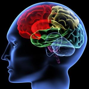 Функции коры головного мозга — в чем они заключаются