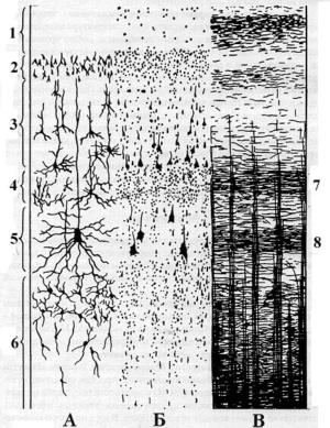 Слои коры головного мозга