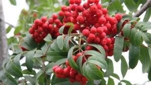 Нормализовать уровень сахара помогут плоды боярышника