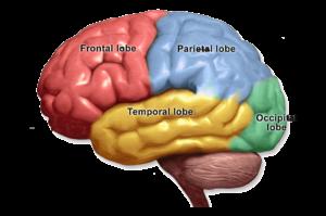 Кора головного мозга с долями