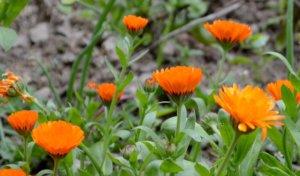 Использование цветков календулы