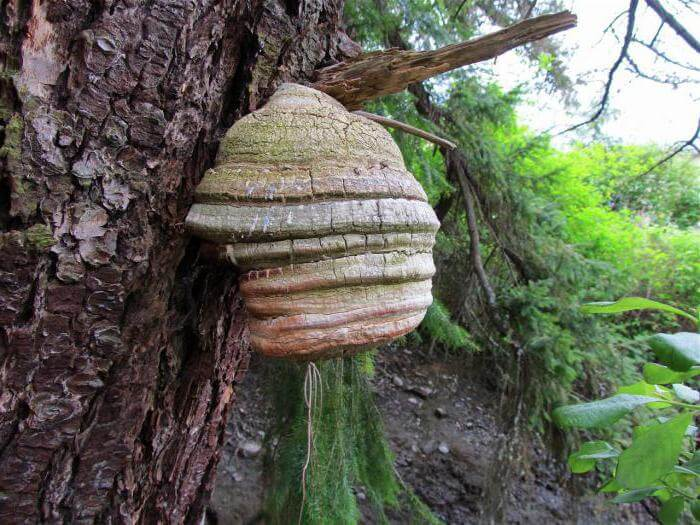 Агарикус на дереве