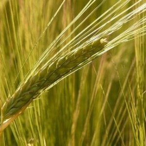 Зерновая культура ячмень. Полезные свойства и использование в народной медицине, выбор и правильное хранение