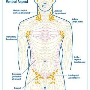 Увеличение паховых лимфоузлов, основные причины и способы лечения