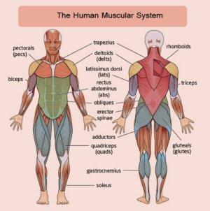Типы мышц
