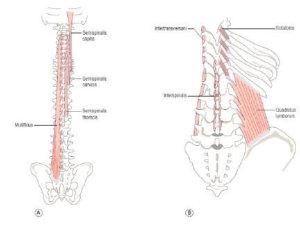 Высокопороговые мышцы