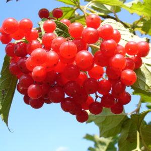 Ягоды калины: лечебные свойства в народной медицине