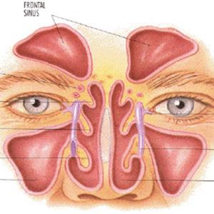 Анатомия лор органов: горла, полости носа, строение уха