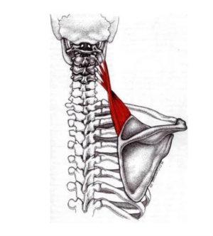 Мышца, поднимающая лопатку