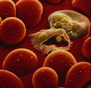 Клетки малярии