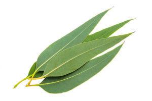 Эвкалиптовые листья в лечении