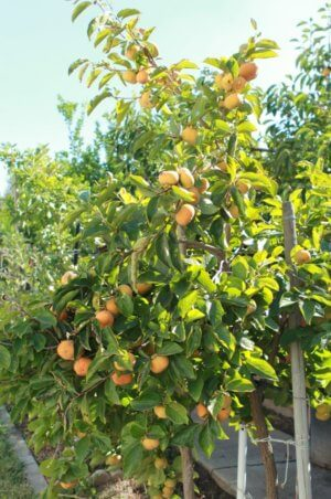 Польза листвы хурмы