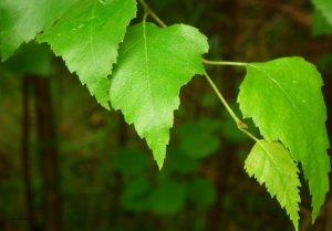 Использование березовых листьев