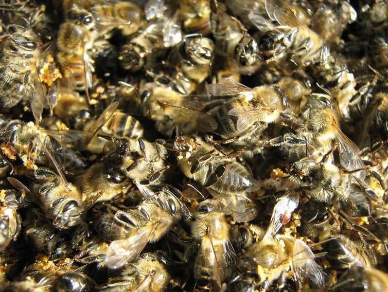 Как использовать пчелиный подмор