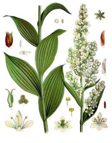 Строение растения чемерица