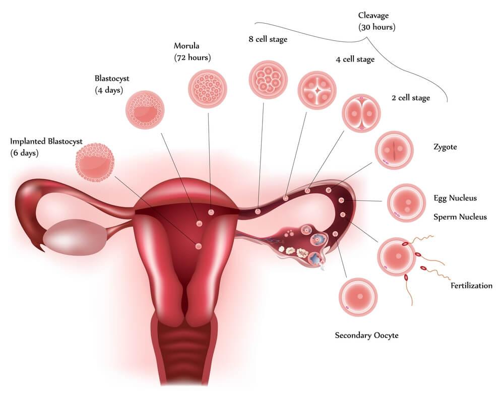 Нормальное развитие беременности до 6 дней