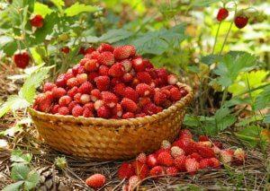 Польза лесной ягоды