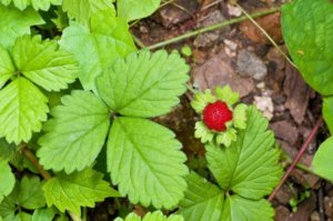 Поиск ягоды в лесу