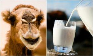 Редкое молоко верблюда