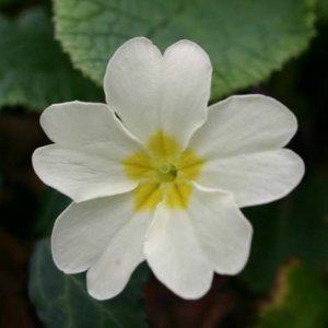 Цветки первоцвета - действующее вещество