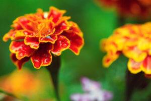 Применение цветков календулы