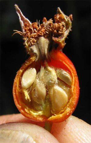 Лечебные свойства семян