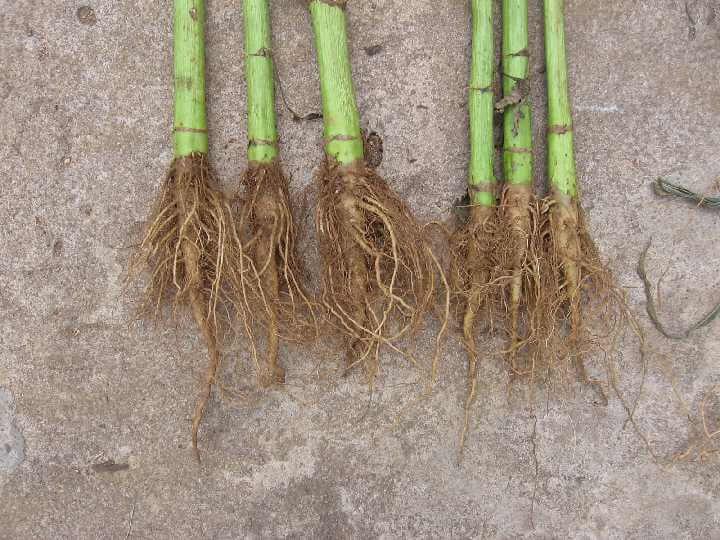 Использование корня подсолнуха