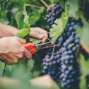 Какие витамины в винограде, польза для здоровья разных сортов ягод